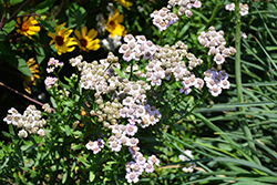 Love Parade Siberian Yarrow (Achillea sibirica 'Love Parade') at Blumen Gardens