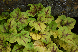 Fun and Games® Eye Spy Foamy Bells (Heucherella 'Eye Spy') at Blumen Gardens