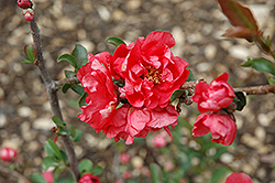Double Take Pink™ Flowering Quince (Chaenomeles speciosa 'Double Take Pink Storm') at Blumen Gardens