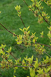 Golden Cornelian Cherry Dogwood (Cornus mas 'Aurea') at Blumen Gardens