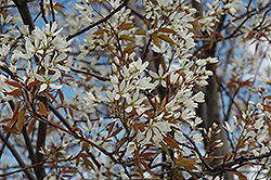 Autumn Brilliance Serviceberry (Amelanchier x grandiflora 'Autumn Brilliance (tree form)') at Blumen Gardens