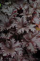 Black Taffeta Coral Bells (Heuchera 'Black Taffeta') at Blumen Gardens