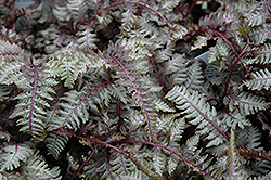 Regal Red Painted Fern (Athyrium nipponicum 'Regal Red') at Blumen Gardens