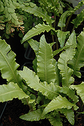 Crested Hart's Tongue Fern (Phyllitis scolopendrium 'Cristata') at Blumen Gardens