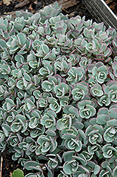 Japanese Stonecrop (Sedum cauticola) at Blumen Gardens
