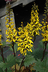 Little Rocket Rayflower (Ligularia 'Little Rocket') at Blumen Gardens