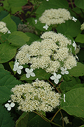 White Dome Hydrangea (Hydrangea arborescens 'White Dome') at Blumen Gardens