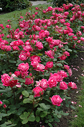 Double Knock Out® Rose (Rosa 'Radtko') at Blumen Gardens