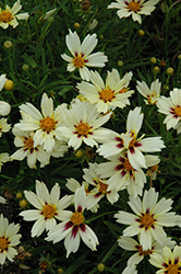Starlight Tickseed (Coreopsis 'Starlight') at Blumen Gardens