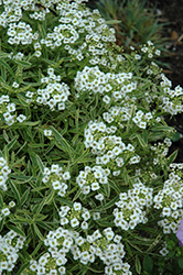 Frosty Knight Alyssum (Lobularia 'Frosty Knight') at Blumen Gardens