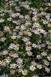 Blue Star Japanese Aster (Kalimeris incisa 'Blue Star') at Blumen Gardens