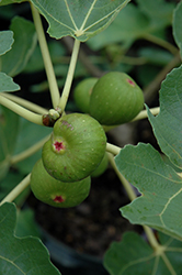Common Fig (Ficus carica) at Blumen Gardens