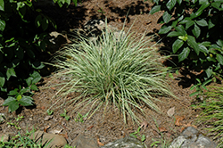 EverColor® Everest Japanese Sedge (Carex oshimensis 'Carfit01') at Blumen Gardens