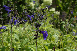 Black And Blue Anise Sage (Salvia guaranitica 'Black And Blue') at Blumen Gardens