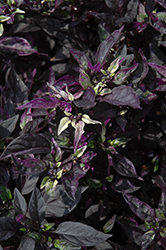 Purple Flash Ornamental Pepper (Capsicum annuum 'Purple Flash') at Blumen Gardens