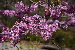Hearts of Gold Redbud (Cercis canadensis 'Hearts of Gold') at Blumen Gardens