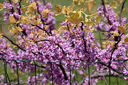 The Rising Sun Redbud (Cercis canadensis 'The Rising Sun') at Blumen Gardens