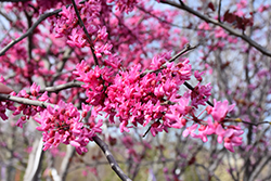 Appalachian Red Redbud (Cercis canadensis 'Appalachian Red') at Blumen Gardens