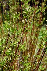 Arctic Fire® Red Twig Dogwood (Cornus sericea 'Farrow') at Blumen Gardens