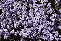 Emerald Blue Moss Phlox (Phlox subulata 'Emerald Blue') at Blumen Gardens