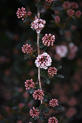 Little Devil™ Ninebark (Physocarpus opulifolius 'Donna May') at Blumen Gardens