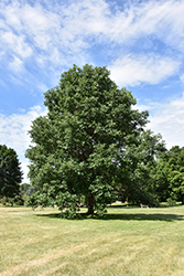 Swamp White Oak (Quercus bicolor) at Blumen Gardens