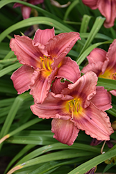 Happy Ever Appster® Rosy Returns Daylily (Hemerocallis 'Rosy Returns') at Blumen Gardens