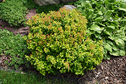 Limoncello™ Barberry (Berberis thunbergii 'BailErin') at Blumen Gardens