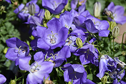 Rapido Blue Bellflower (Campanula carpatica 'Rapido Blue') at Blumen Gardens
