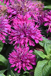 Grape Gumball Beebalm (Monarda 'Grape Gumball') at Blumen Gardens