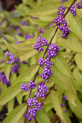 Early Amethyst Beautyberry (Callicarpa dichotoma 'Early Amethyst') at Blumen Gardens