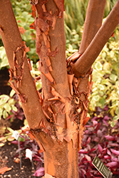 Paperbark Maple (Acer griseum) at Blumen Gardens