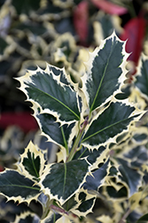 Variegated English Holly (Ilex aquifolium 'Argentea Marginata') at Blumen Gardens