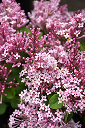 Scent And Sensibility™ Pink Lilac (Syringa 'SMSXPM') at Blumen Gardens
