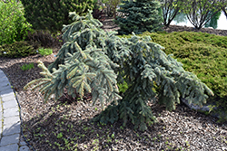 Weeping Blue Spruce (Picea pungens 'Pendula') at Blumen Gardens