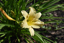 EveryDayLily® Cream Daylily (Hemerocallis 'VER00112') at Blumen Gardens