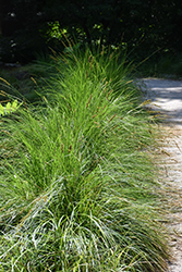 Autumn Moor Grass (Sesleria autumnalis) at Blumen Gardens