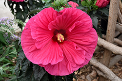 Summer In Paradise Hibiscus (Hibiscus 'Summer In Paradise') at Blumen Gardens