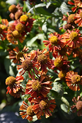 Ruby Tuesday Sneezeweed (Helenium 'Ruby Tuesday') at Blumen Gardens