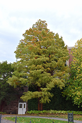 Baldcypress (Taxodium distichum) at Blumen Gardens