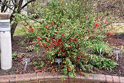 Double Take Orange™ Flowering Quince (Chaenomeles speciosa 'Double Take Orange Storm') at Blumen Gardens