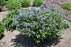 Storm Cloud Bluestar (Amsonia tabernaemontana 'Storm Cloud') at Blumen Gardens