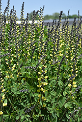 Decadence® Lemon Meringue False Indigo (Baptisia 'Lemon Meringue') at Blumen Gardens