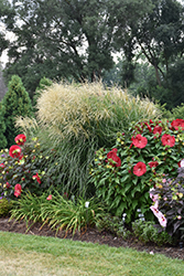 Encore Maiden Grass (Miscanthus sinensis 'Encore') at Blumen Gardens