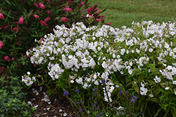 Fashionably Early Crystal Garden Phlox (Phlox 'Fashionably Early Crystal') at Blumen Gardens
