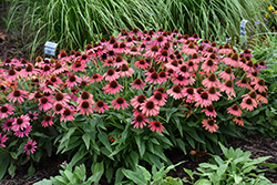 Lakota™ Fire Coneflower (Echinacea 'Lakota Fire') at Blumen Gardens