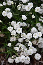 Peter Cottontail Yarrow (Achillea ptarmica 'Peter Cottontail') at Blumen Gardens
